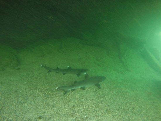 Puerto Villamil, Ecuador: Tiburones dormidos en los tuneles
