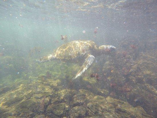 Puerto Villamil, Ecuador: Tortuga marina,  que esta en lo suyo. No le preocupa la presencia de humanos, tampoco se acerca.