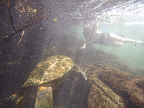 Puerto Villamil, Ecuador: Tortuga que estaba de mi tamaño, su cabeza mucho más grande que la mía
