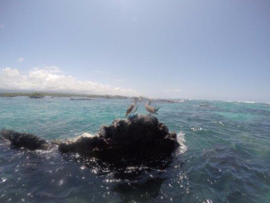 Puerto Villamil, Ekwador: Piquero de patas azules