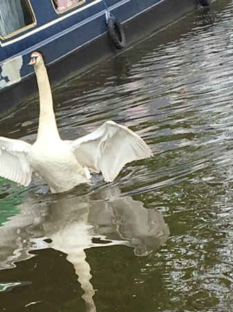 Chorley, UK: Swan on the river