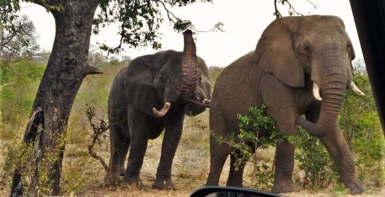 Hazyview, Sudáfrica: Sighting in the Kruger National Park