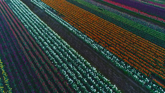 Woodburn, OR: Drone shot taken of some of the beautiful colored tulips.