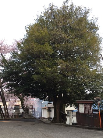 Isunoki Tree of Iida Castle Sakuramaru