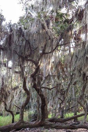 Myakka River State Park: spanish moss everywhere