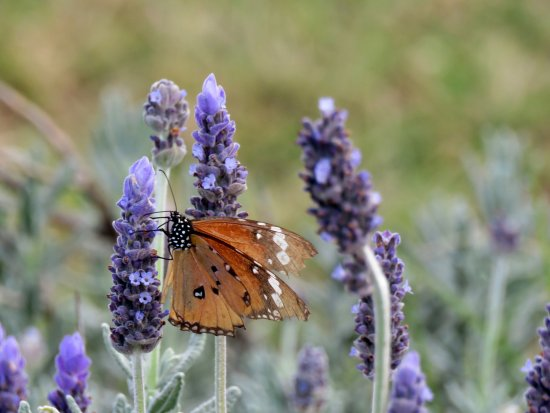 Hekpoort, South Africa: Loads of lavender and butterflies everywhere