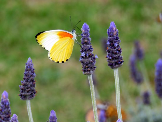 Hekpoort, South Africa: There were 4 different types of butterflies on the lavender