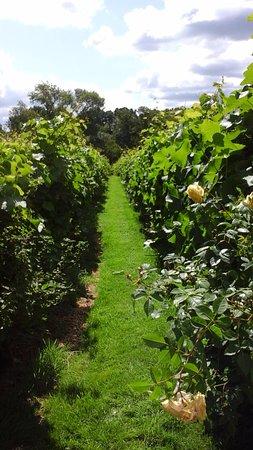 Rothley, UK: Summer vines