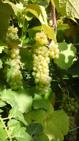 Rothley, UK: Leicestershire grape harvest