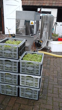 Pressing the grapes in Rothley