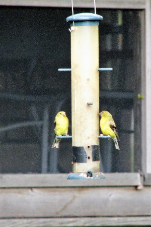 Dubuque, IA: Finches enjoyed the bird feeders