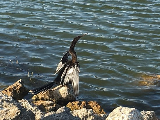 Mount Dora, FL: Cormorant drying his wings.