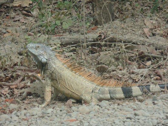 Sanctuary Condominiums and Retreat: Iguana on the road