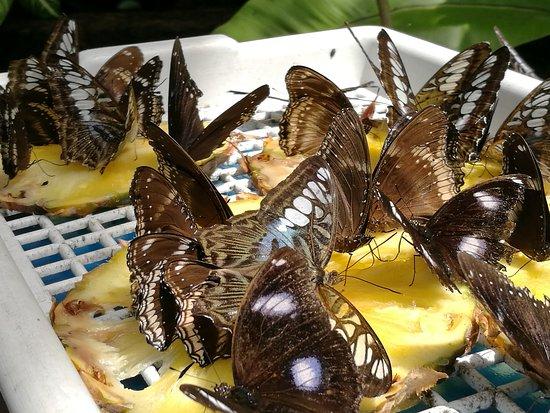 Melaka Butterfly and Reptile Sanctuary: IMG_20170422_112251_large.jpg