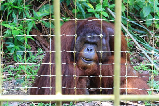 Semanggol, Malaysia: One of the Orangutans