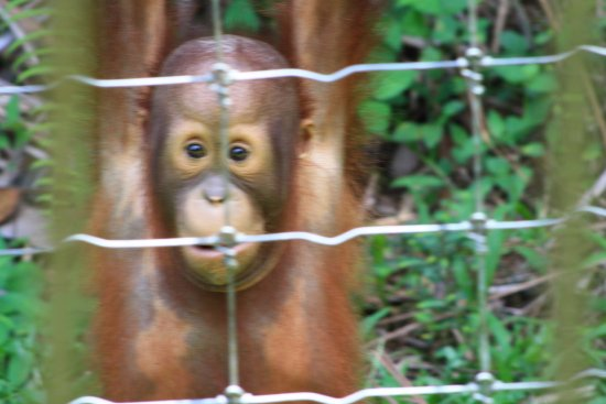Semanggol, Malezja: One of the Orangutans
