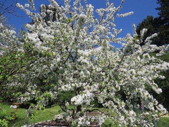 Dorfschenke : Kirschenbaum beim Kräutergarten