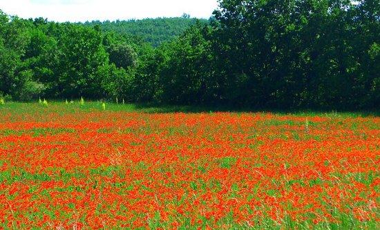 Gelincik Tarlalar U0131 - Picture Of Sault  Vaucluse