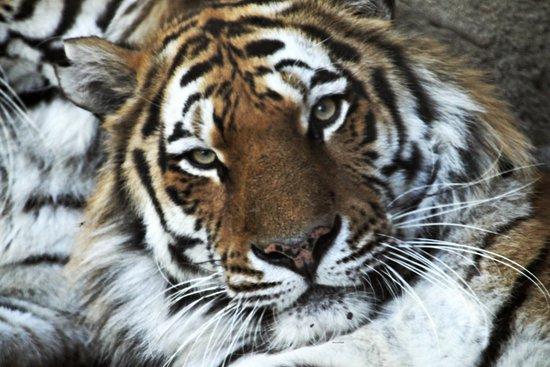 Tigre dell 39 amur tempio delle tigri picture of zoom for Disegni delle tigri