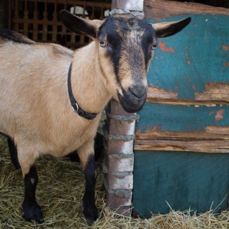 Hendersonville, Carolina del Norte: Meet the Goats! This is Amy.