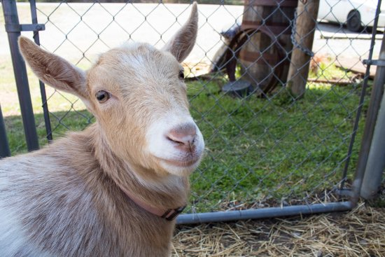 Hendersonville, Carolina del Norte: Meet the Goats! This is Hara.