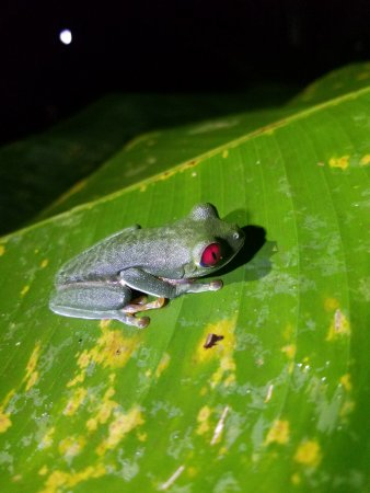 Costa Rica Jade Tours: red-eyed tree frog