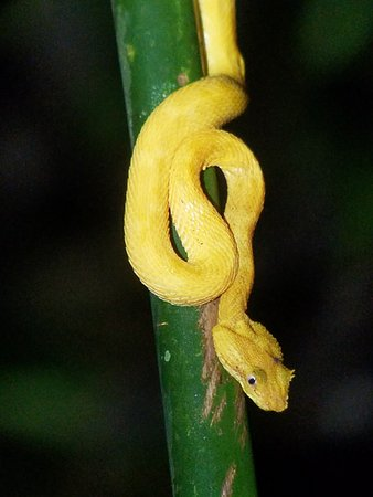 Costa Rica Jade Tours: eyelash pit viper