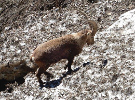Thones, فرنسا: Ibex met on the way back