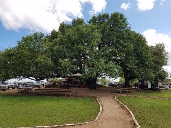 Stonewall, TX: Amazing Tree