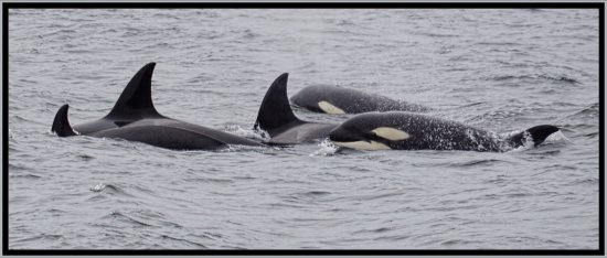 Gabriola Island, Канада: Orca's just off of Gabriola the other day.