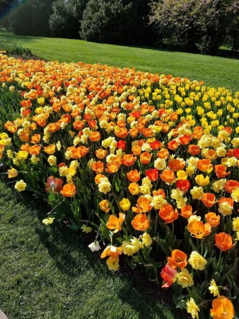 Kennett Square, Pensilvania: A fraction of the tulips now on display
