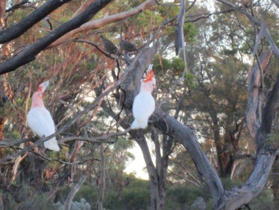 Waikerie, Austrália: Major Mitchell's Cockatoo