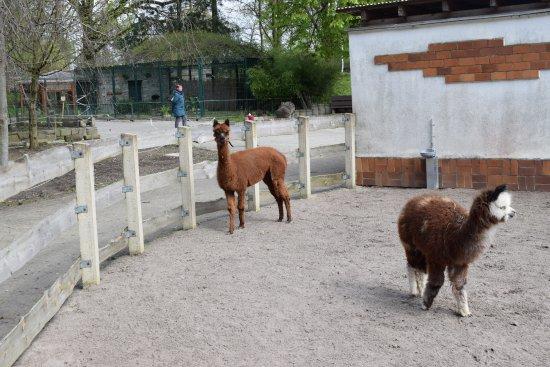 Senftenberg, Alemania: Alpakas
