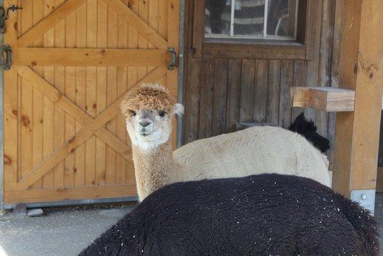 The Maryland Zoo: Alpaca