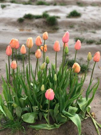 Woodburn, OR: Tulips in the rain