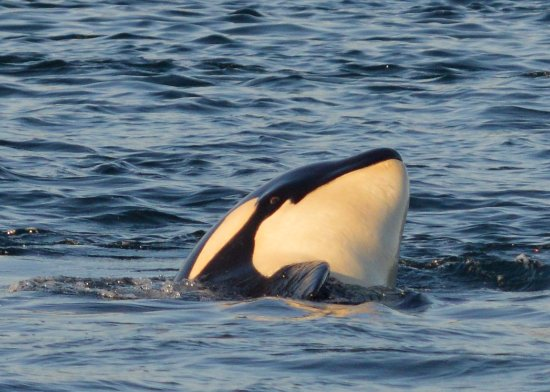 San Juan Islands, WA: Orca whale calf near San Juan Island - Spotted on San Juan Safaris Tour