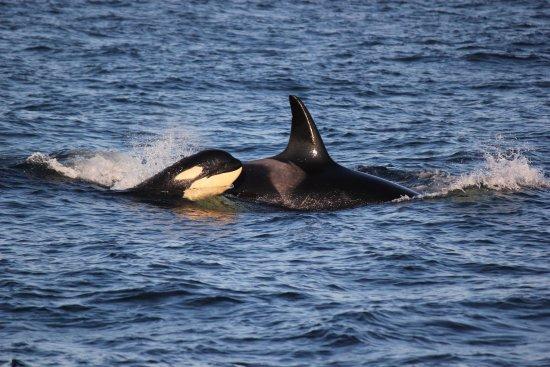 San Juan Islands, WA: Mother and her orca calf near San Juan Island