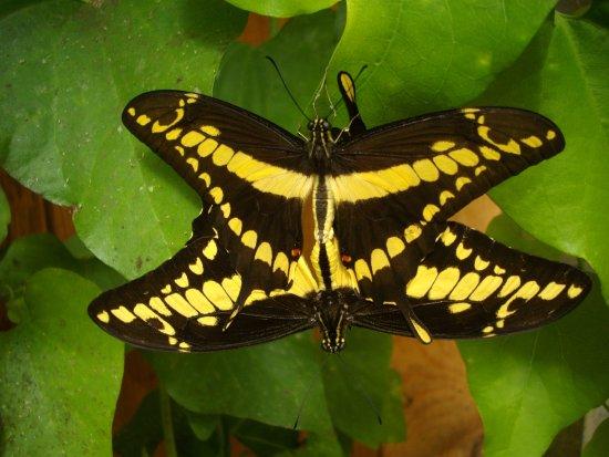 La Gueriniere, France: accouplement de papillons