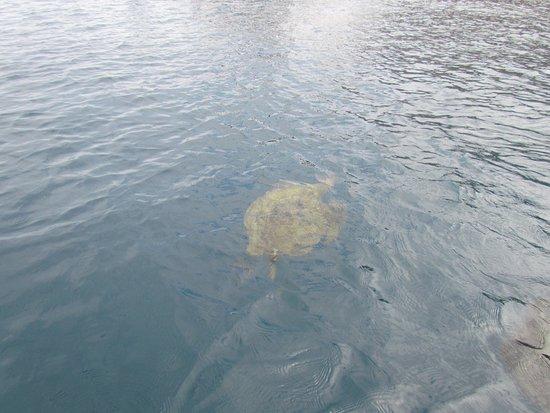 Machalilla National Park, Ecuador: tortuga marina