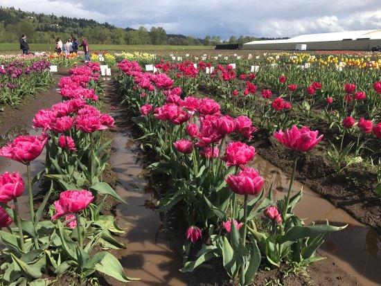 Holland America Bulb Farms