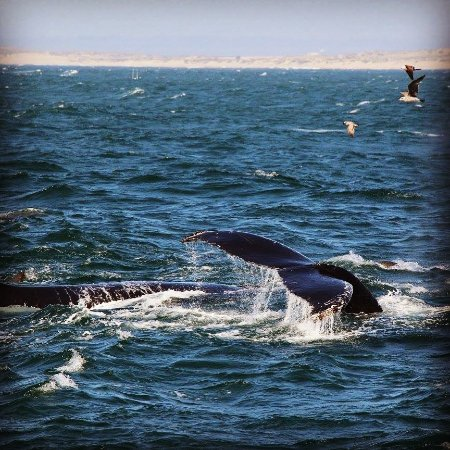 Monterey Bay Whale Watch: Beautiful humpback whales feeding with seals