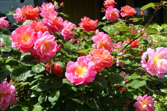 Melody Ranch Motel: Nice roses