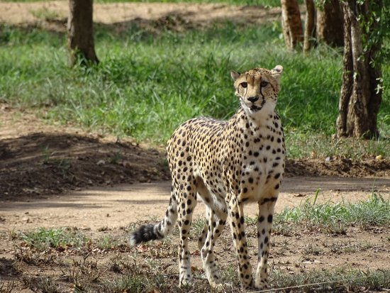 Hoedspruit, Sydafrika: Cheetah ready to demonstrate running