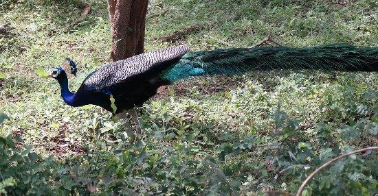 Kalutara, Sri Lanka: Yala National Park Safary