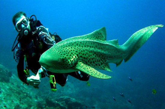 Phuket Sharks Point Scuba Diving Tour...
