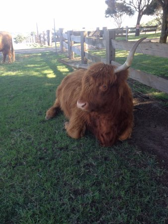 Cowes, Australia: Churchill Island Heritage Farm - highland cattle