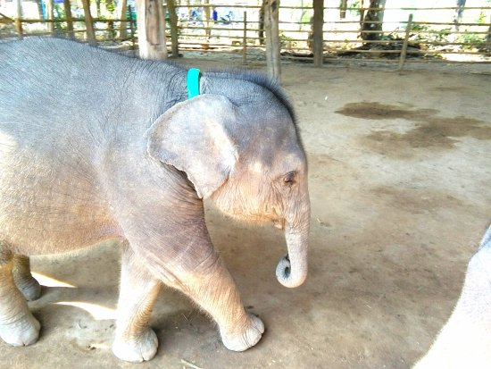 "Bago, Myanmar: Plucky little ""Mary""  2 months old, orphaned by hunters."