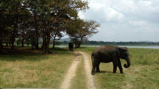 Habarana, Sri Lanka: Not hurrying walking elephants