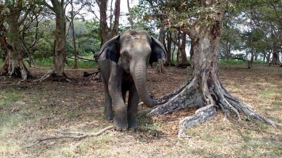 Habarana, Sri Lanka: Слон разгоняет насекомых