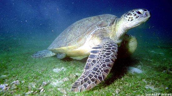 Sakalav Diving: tortue verte